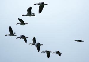 Zugvögel im Flug für Achtsamkeit, Mindfulness und Mindful BWL