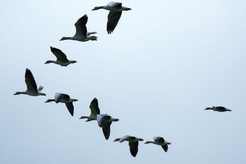 Zugvögel im Flug für Achtsamkeit, Mindfulness und Mindful BWL und Prozessverlauf im System